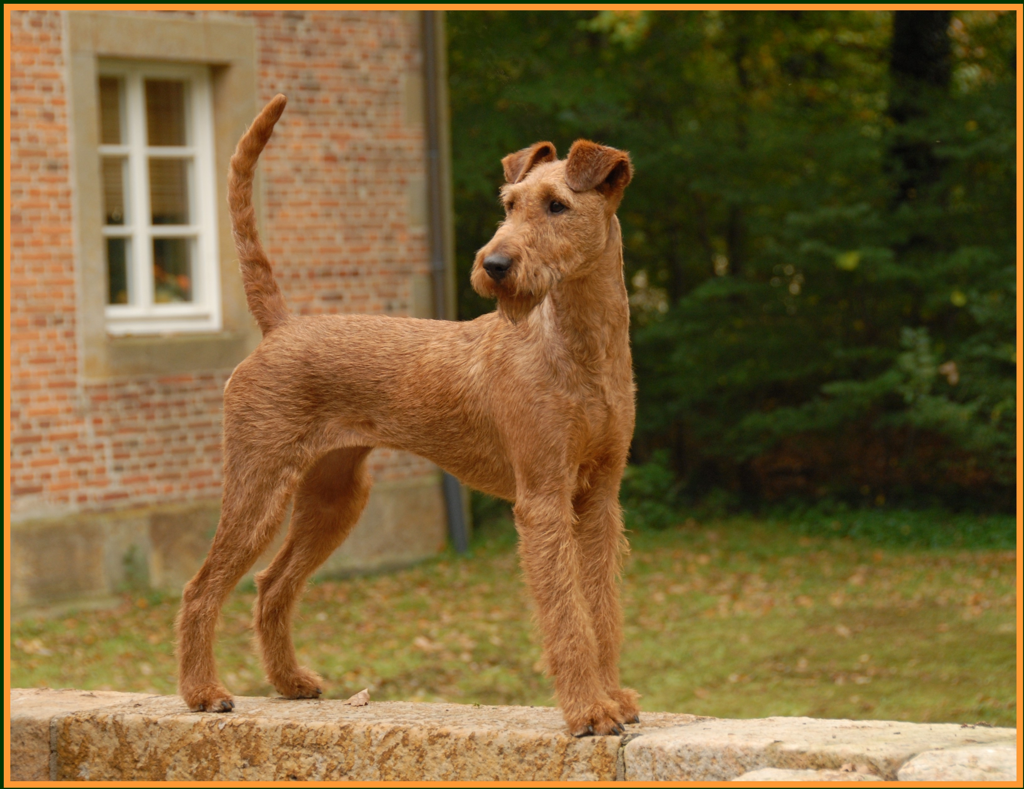 irish terrier club of america irish terrier dog breed history and some interesting facts 9918
