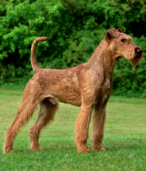 irish terrier club of america irish terrier dog breed history and some interesting facts 4009