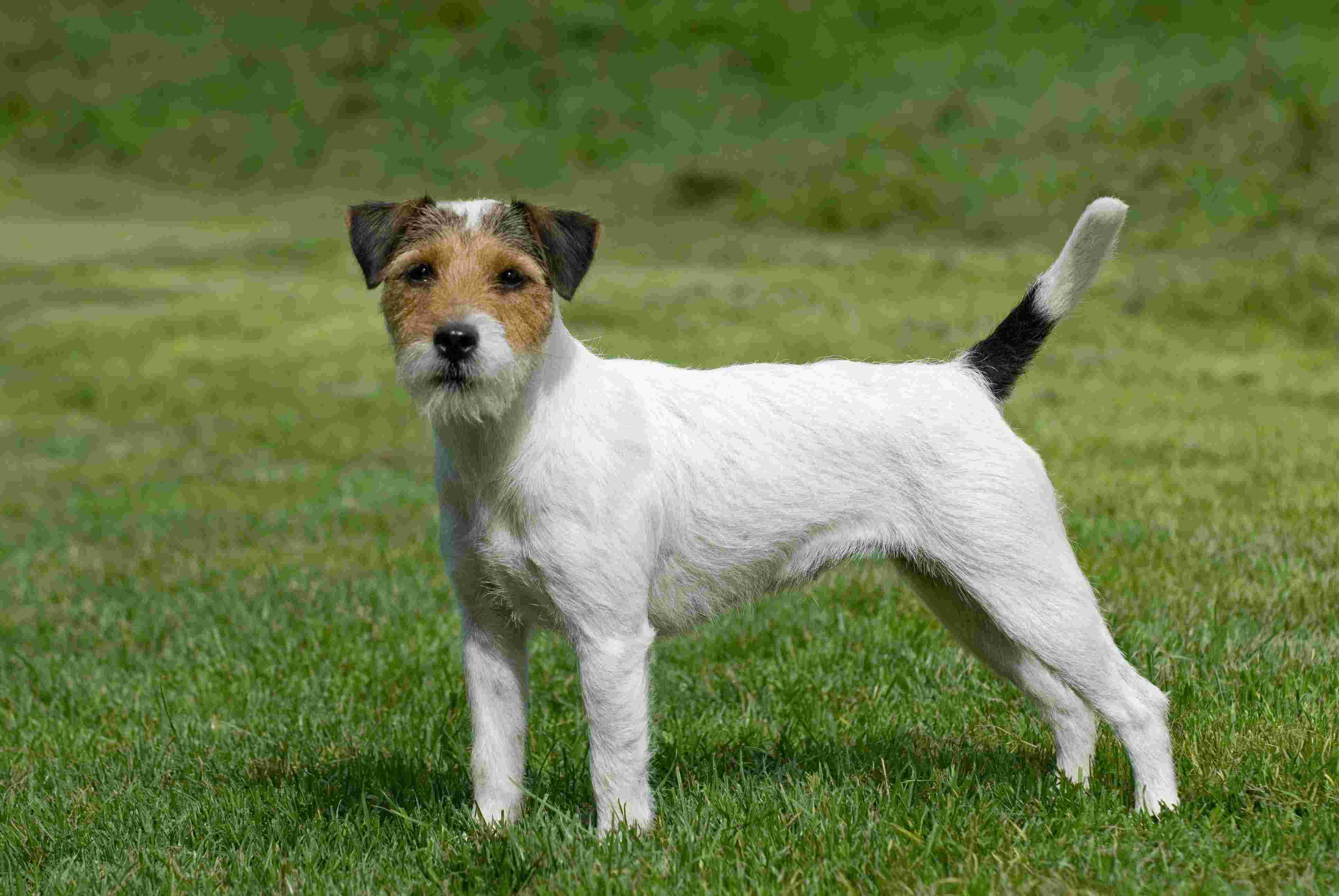 russell terrier breed parson russell terrier dog breed history and some 7345