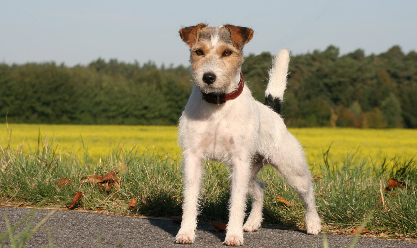 russell terrier breed parson russell terrier dog breed history and some 8875