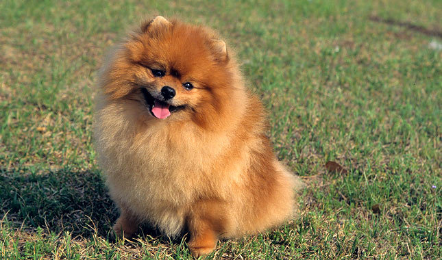 pomeranian club of america pomeranian dog breed history and some interesting facts 187