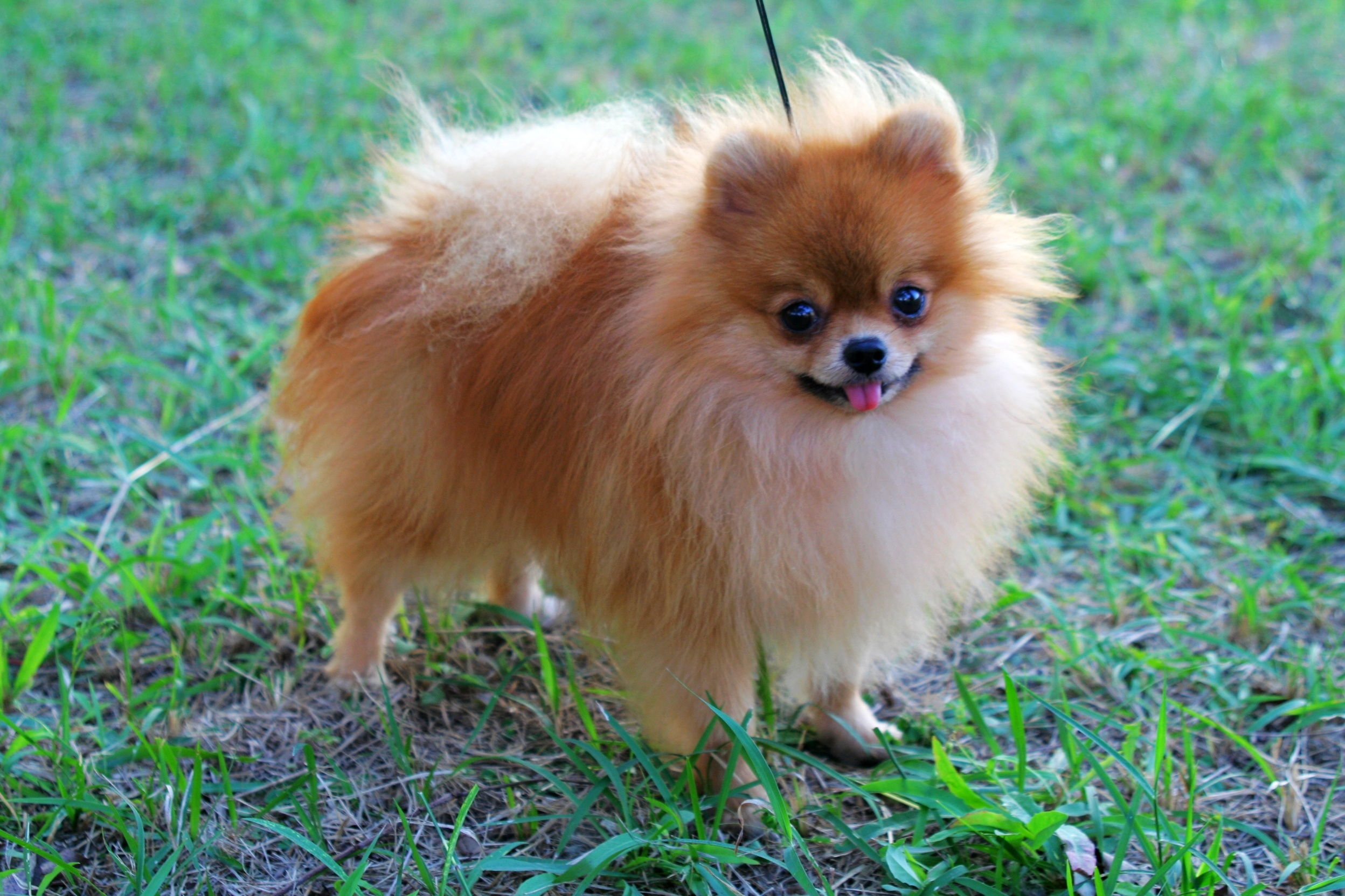 pomeranian club of america pomeranian dog breed history and some interesting facts 5663